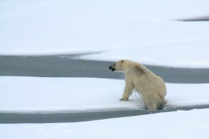 Starving Polar Bear on Iceless Land