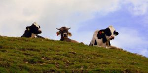 Put down that veggie burger. These farmers say their cows can solve the climate crisis