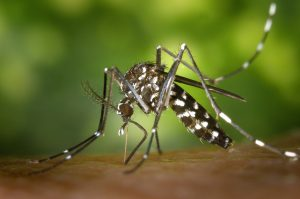 Tigermücken – kleine, stechfreudige Biester breiten sich aus